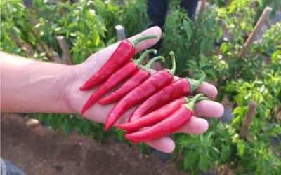 Cayennepfeffer – Die Vorteile für deine Gesundheit
